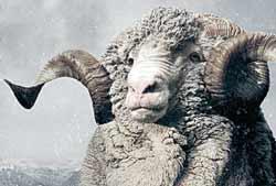 Merino Wolle